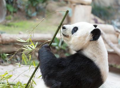 竹を食べるパンダ