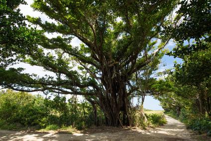 久高島のガジュマルの木