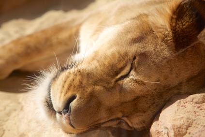 眠るライオン