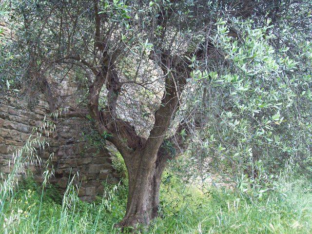 オリーブの木全体図