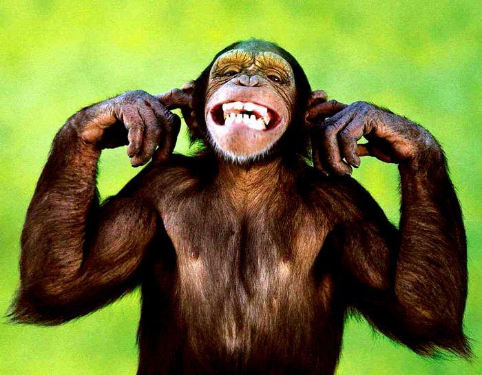 耳をふさいで歯を見せているチンパンジー