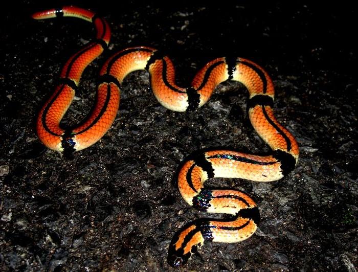 黒い模様のはいった赤いヘビ