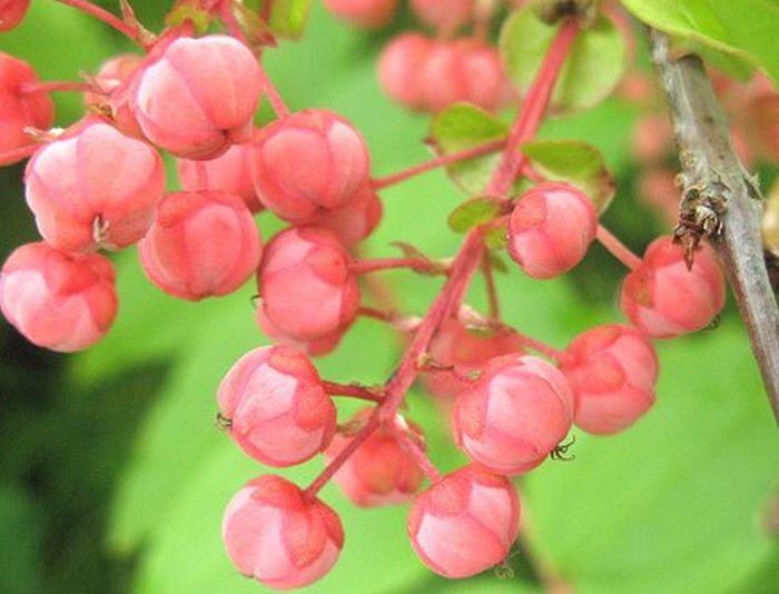 ピンク色の果実