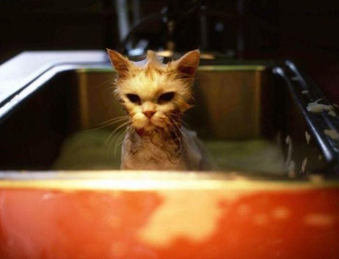 お風呂にはいる猫