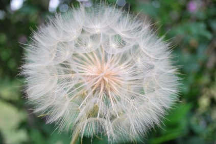 Background of the seeds of a dandelion closeup