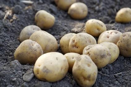 畑に転がるジャガイモ